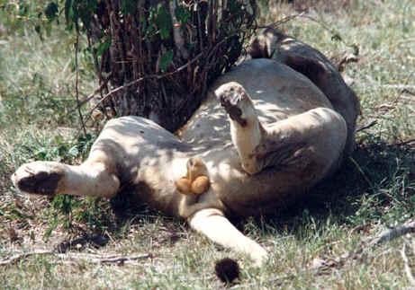 Photo De Safari En Afrique Photo De Safari Au Kenya