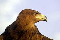 Photo d'un aigle ravisseur  (Cliquez pour agrandir la photo)
