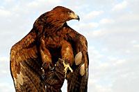 Photo d'un aigle au poing (Cliquez pour agrandir la photo)