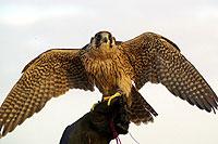 Photo d'un faucon au poing (Cliquez pour agrandir la photo)