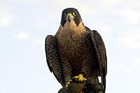 Photo d'un faucon  (Cliquez pour agrandir la photo)