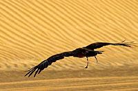 Aigle en bas vol sur les dunes de sable (Cliquez pour agrandir la photo)