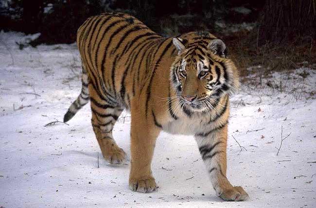 Extrem Tigre de Sibérie ou tigre des neiges - Caractéristiques et photo  TC54
