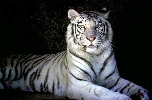C'est encore fini (la TT du félin) - serval91 Tigre-blanc-2bis